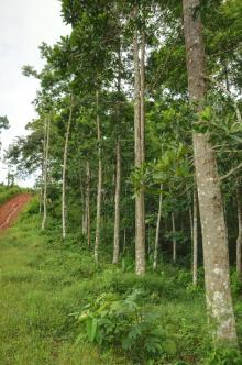 Profitable Forestry Project Pital