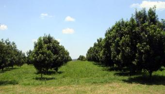 Macadamia Orchard for sale. Asuncion