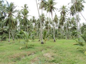 Fine coconut grow for sale Marawila Town