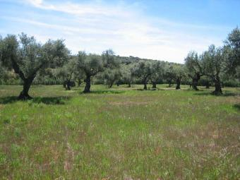 Plot of 12500 m2 with license to Ronda